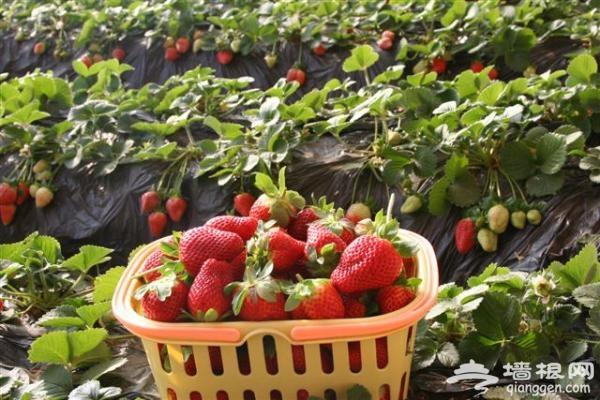北京草莓采摘首选丁丁草莓园,北京草莓采摘推荐[墙根网]
