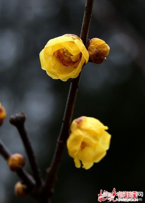 北京植物园蜡梅开放花期正好赶上正月十五