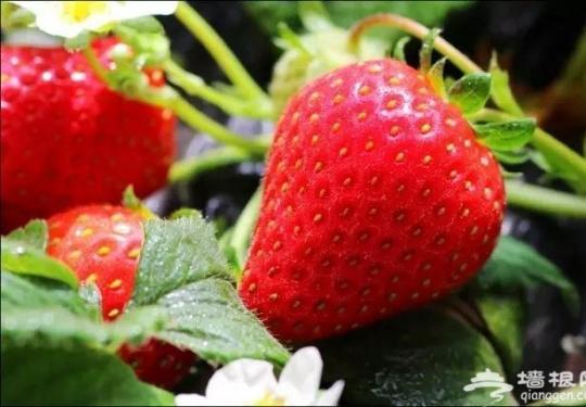 京郊采摘草莓正当时 推荐四个好去处