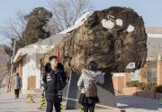 巨大非洲楠木主干落户北京植物园