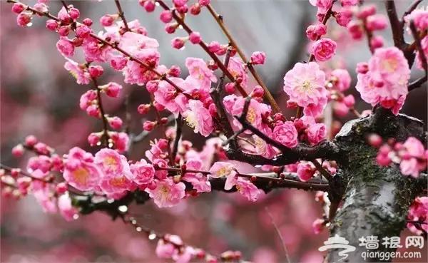 错过再等一年!京城这里的梅花美到极致