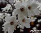三月 看遍京城最美的玉兰花