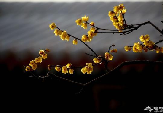 开春第一花 京城热门赏腊梅地盘点