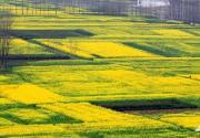 这是河南唯一能媲美婺源油菜花的地方!整个村都是,还免费