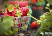 京城以北草莓采摘地推荐