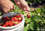京城草莓采摘 一路向南