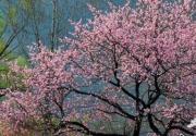河北棋盘山第十一届杏花节将于3月25日开幕