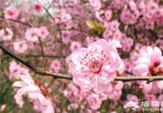 北京周边踏青赏花全攻略,桃花樱花海棠玉兰应有尽有