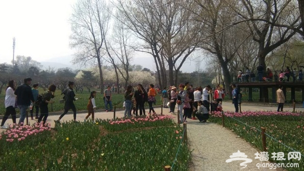 北京植物园桃花节:桃花盛开 游人如[墙根网]