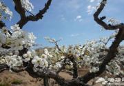 一夜春风来 万树梨花开--北京密云万亩梨花正当时