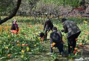 北京植物园郁金香盛开 游客踩踏花区拍照