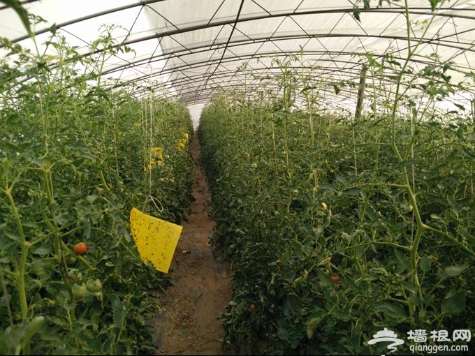 顺义有点田有机农场种出沙瓤西瓜,可以采摘了![墙根网]