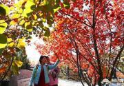 京城赏红时间比以往提前一周 八达岭周口店的红叶红透了