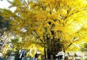 又到銀杏最美時 市屬公園推薦十處銀杏及彩葉觀賞點