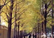 拒绝拥挤:你知道海淀区的这条静谧银杏大道吗?