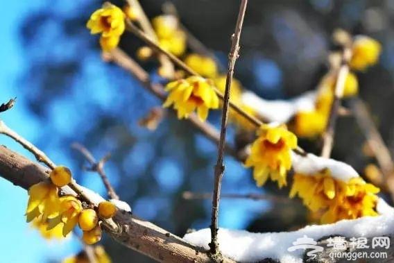春节赏花看腊梅 京城梅花观赏地[墙根网]