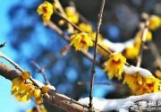 春节赏花看腊梅 京城梅花观赏地