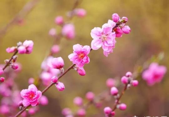 上海春天哪里的花景最美?上海周末踏春赏花地图