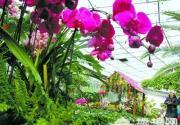 开在春之前 北京植物园第十四届兰花展