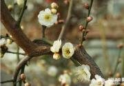 品梅赏春 就来北京鹫峰国家森林公园