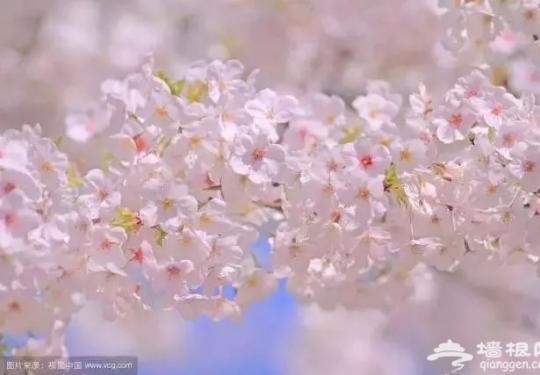 别去日本了!北京这趟6元小火车,带你穿越绝美樱花!沿途风景惊艳到哭!