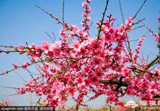 在那桃花盛开的地方 京城观赏桃花胜地