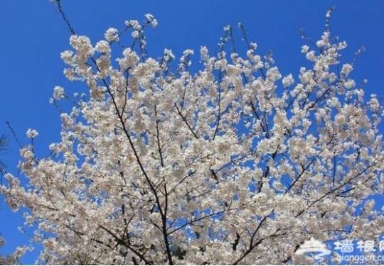 京城春季繁花似锦 去这几个地方赏尽百花