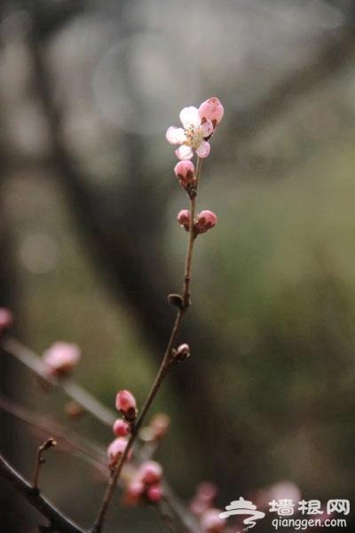 凤凰岭山桃花开花了!