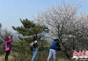 北京植物园桃花节今天开幕 下周植物园玉渊潭周边交通压力增大