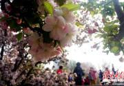 北京迎来赏花佳期 迎春、山桃等早春花卉陆续开放