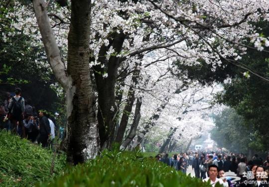 """到武大赏樱花要提前3天预约 游客需凭身份证""""刷脸""""入校"""