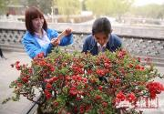 陶然亭海棠春花文化活動開幕 地栽海棠4月上旬進入最佳觀賞期