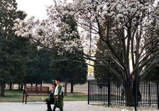 春花烂漫 周末去天坛公园探访最美古玉兰吧!
