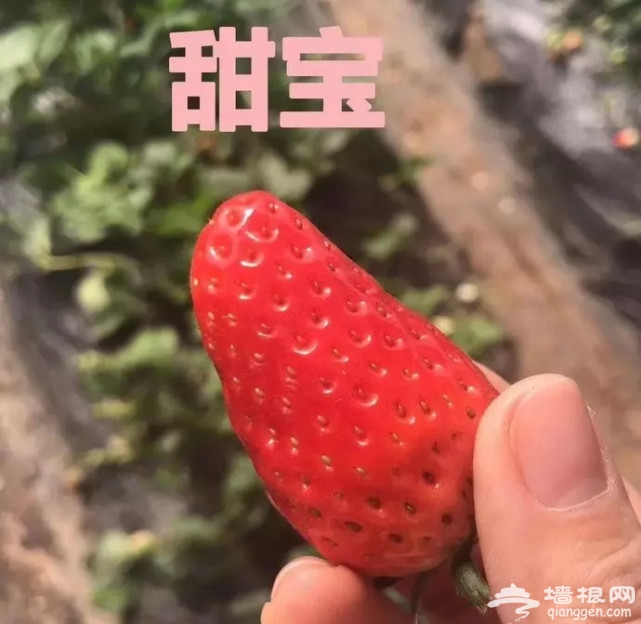 延庆这地方近期人满为患,有场草莓盛宴[墙根网]