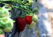 延庆这地方近期人满为患,有场草莓盛宴