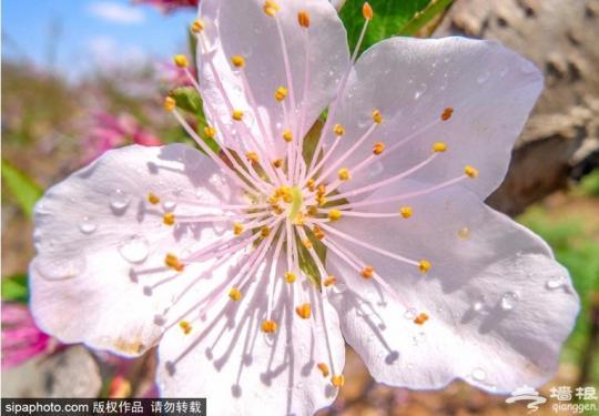 春暖花开!昌平小伙伴,请收好这份春季赏花地图&时间表