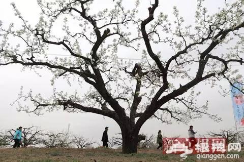 2018大兴梨花旅游文化节开幕 预计花期持续至4月15日