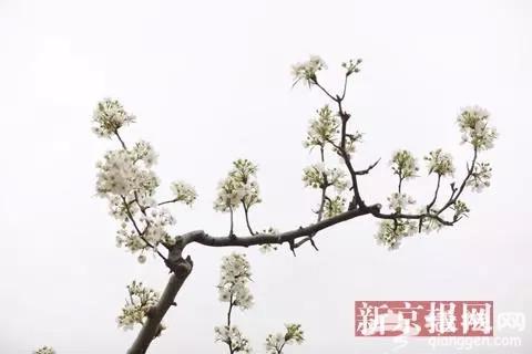 2018大兴梨花旅游文化节开幕 预计花期持续至4月15日[墙根网]