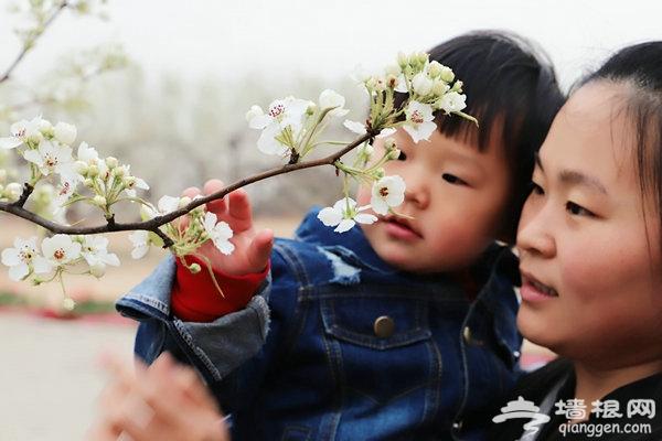 庞各庄镇第25届梨花旅游文化节开幕 享受林间漫步的惬意[墙根网]