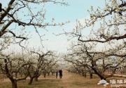龐各莊鎮第25屆梨花旅游文化節開幕 享受林間漫步的愜意