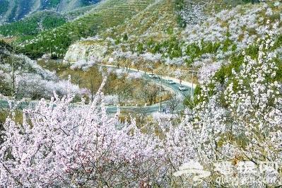 北京山区的山杏花进入盛放期
