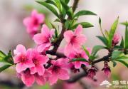 花海徜徉乐享休闲,北京平谷第二十届国际桃花音乐节开幕