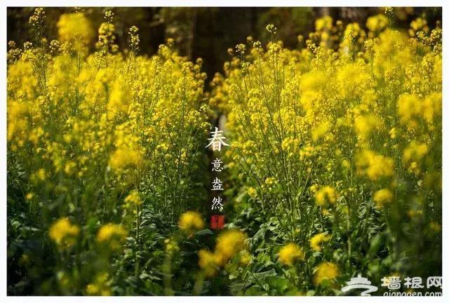 看油菜花何必去远方?北京最新油菜花海指南在这里!关键大部分都免费![墙根网]