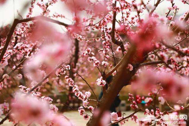 金山岭长城杏花节开幕! 北京人又多了一个踏春的好地方![墙根网]