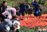 北京植物园40万郁金香盛放 展区设计灵感来自绘本《秘密花园》