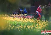 北京中山公园郁金香洋水仙等进入最佳观赏期 设计7个主题景区