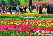 植物园郁金香进入最佳观赏期