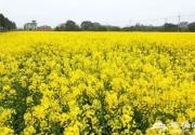 天氣回暖 不用去婺源在天津也有油菜花海