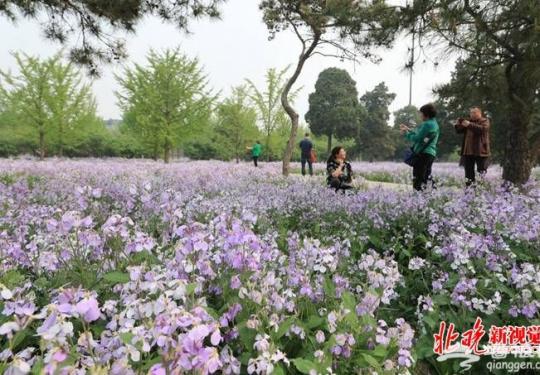 """天坛二月兰开出""""香雪海""""自然景观 北京市属公园推广乡土植物"""