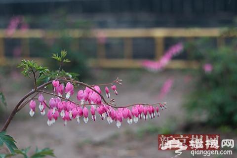 圆明园牡丹进入盛花期 游客雨中赏花自拍[墙根网]
